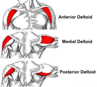 Anatomy of shoulders